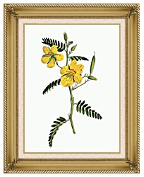 William Curtis Dwarf Cassia canvas with gallery gold wood frame