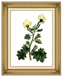 William Curtis Golden Flowered Henbane canvas with gallery gold wood frame