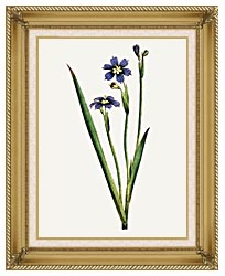 William Curtis Iris Leaved Sisyrinchium canvas with gallery gold wood frame