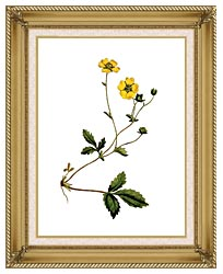William Curtis Large Flowered Potentilla canvas with gallery gold wood frame