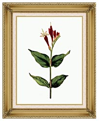 William Curtis Maryland Spigelia canvas with gallery gold wood frame