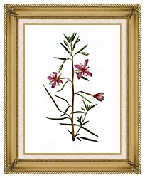 William Curtis Narrowest Leaved Willow Herb canvas with gallery gold wood frame