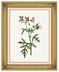 William Curtis Rasp Leaved Geranium canvas with gallery gold wood frame