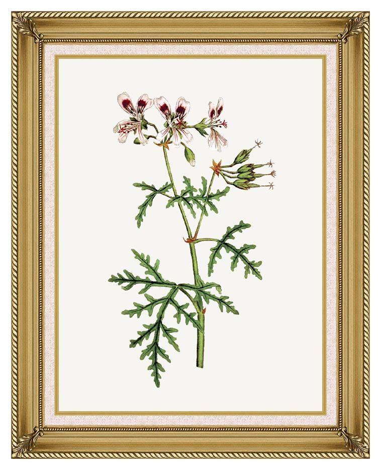 William Curtis Rasp-Leaved Geranium with Gallery Gold Frame w/Liner