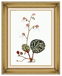 William Curtis Strawberry Saxifrage canvas with gallery gold wood frame