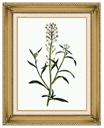 William Curtis Sweet Alyssum canvas with gallery gold wood frame