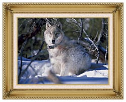 U S Fish And Wildlife Service Gray Wolf In Snow canvas with gallery gold wood frame