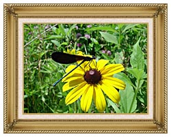 U S Fish And Wildlife Service Ebony Jewelwing On Black Eyed Susan canvas with gallery gold wood frame
