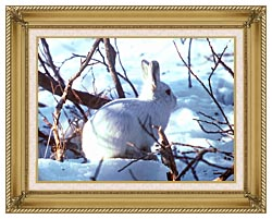 U S Fish And Wildlife Service Artic Hare Rabbit canvas with gallery gold wood frame