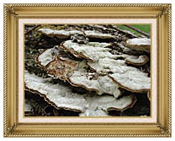 U S Fish And Wildlife Service Gray Shelf Mushrooms canvas with gallery gold wood frame