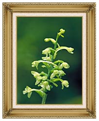 U S Fish And Wildlife Service Green Fringed Orchid canvas with gallery gold wood frame