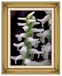 U S Fish And Wildlife Service Nodding Ladies Tresses canvas with gallery gold wood frame