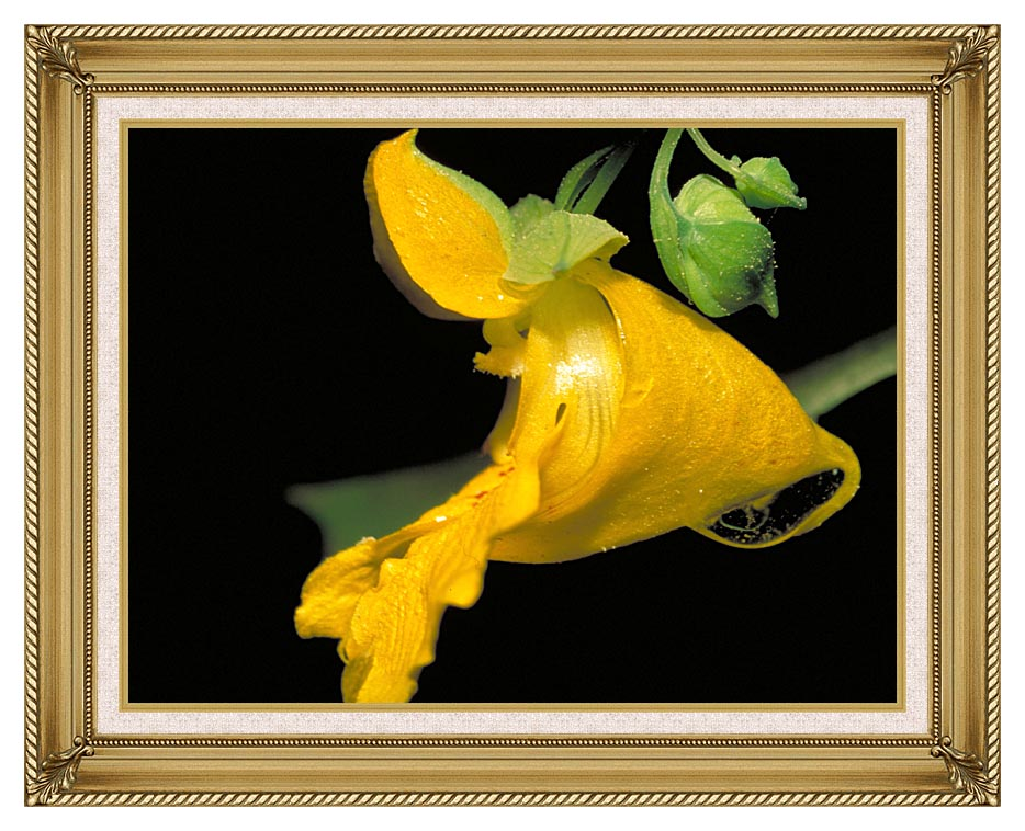 U S Fish and Wildlife Service Pale Jewelweed with Gallery Gold Frame w/Liner