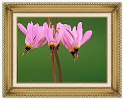 U S Fish And Wildlife Service Pink Shooting Star canvas with gallery gold wood frame