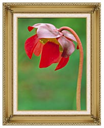 U S Fish And Wildlife Service Pitcher Plant canvas with gallery gold wood frame