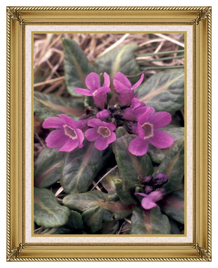 U S Fish and Wildlife Service Pribilof Wildflowers, Primula with Gallery Gold Frame w/Liner