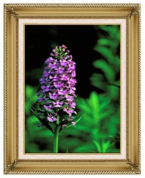 U S Fish And Wildlife Service Purple Fringed Orchid canvas with gallery gold wood frame