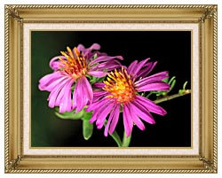 U S Fish And Wildlife Service Silky Aster canvas with gallery gold wood frame