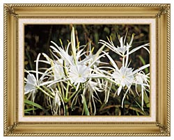 U S Fish And Wildlife Service Spider Lily canvas with gallery gold wood frame