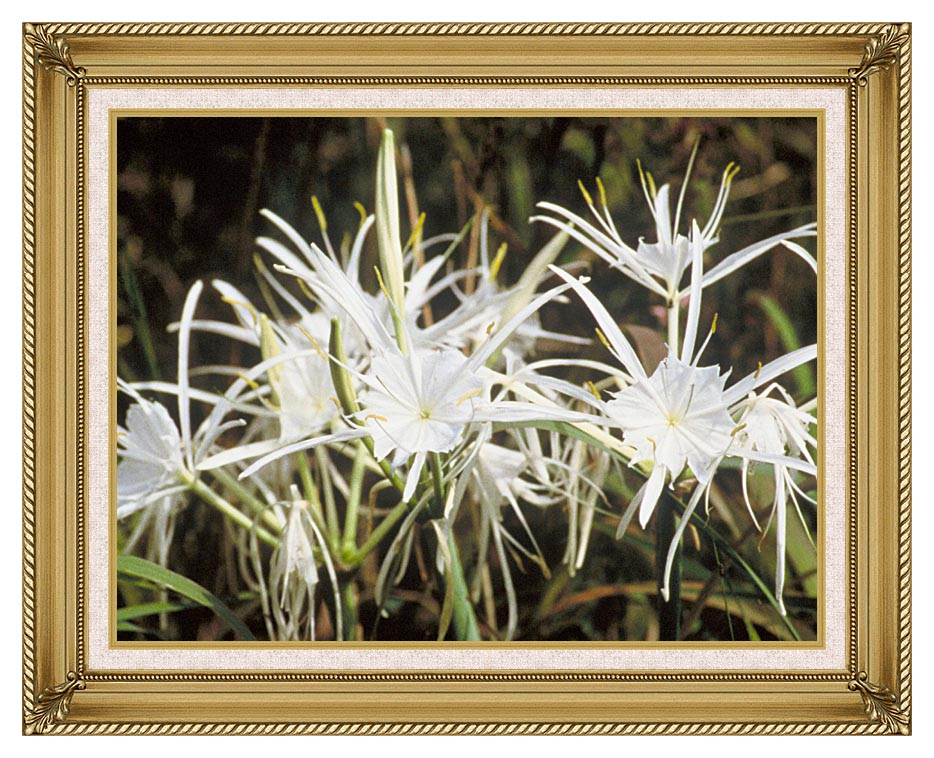 U S Fish and Wildlife Service Spider Lily with Gallery Gold Frame w/Liner