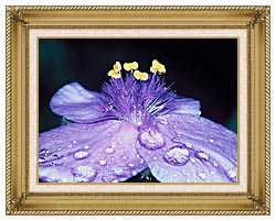 U S Fish And Wildlife Service Spider Wort Flower Art canvas with gallery gold wood frame