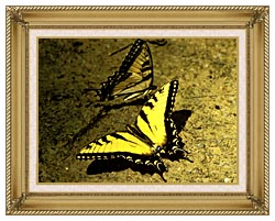 U S Fish And Wildlife Service Tiger Swallowtail Butterfly canvas with gallery gold wood frame