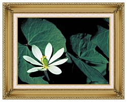 U S Fish And Wildlife Service Twinleaf canvas with gallery gold wood frame