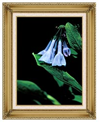 U S Fish And Wildlife Service Virginia Bluebells canvas with gallery gold wood frame