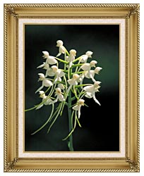 U S Fish And Wildlife Service White Fringeless Orchid canvas with gallery gold wood frame