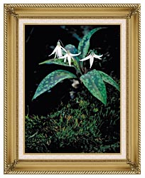 U S Fish And Wildlife Service White Trout Lily canvas with gallery gold wood frame