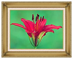 U S Fish And Wildlife Service Wood Lily canvas with gallery gold wood frame