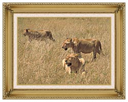 U S Fish And Wildlife Service African Lions canvas with gallery gold wood frame