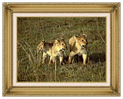 U S Fish And Wildlife Service African Lion Cubs canvas with gallery gold wood frame