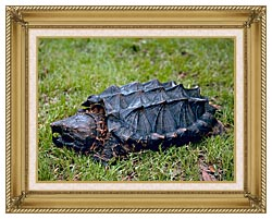 U S Fish And Wildlife Service Alligator Snapping Turtle canvas with gallery gold wood frame