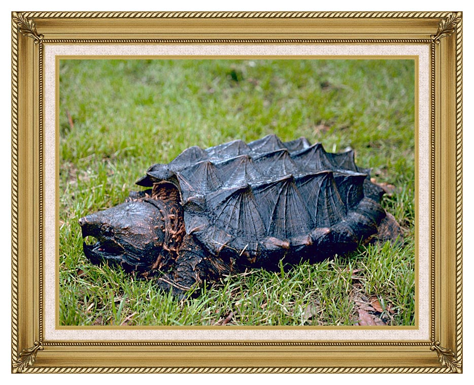 U S Fish and Wildlife Service Alligator Snapping Turtle with Gallery Gold Frame w/Liner