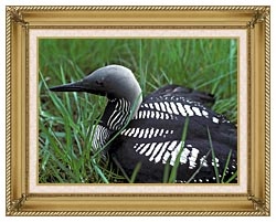 U S Fish And Wildlife Service Artic Loon canvas with gallery gold wood frame