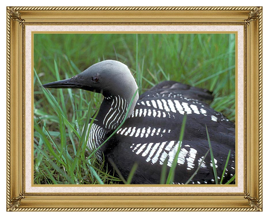 U S Fish and Wildlife Service Artic Loon with Gallery Gold Frame w/Liner