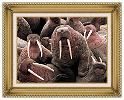 U S Fish And Wildlife Service Pacific Walrus At Cape Peirce canvas with gallery gold wood frame