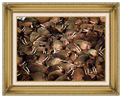 U S Fish And Wildlife Service Walrus Herd canvas with gallery gold wood frame