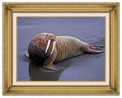 U S Fish And Wildlife Service Walrus canvas with gallery gold wood frame