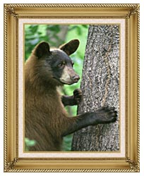 U S Fish And Wildlife Service American Black Bear canvas with gallery gold wood frame