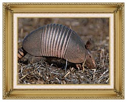 U S Fish And Wildlife Service Armadillo canvas with gallery gold wood frame