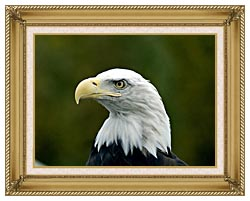 U S Fish And Wildlife Service U S A Bald Eagle canvas with gallery gold wood frame