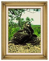 U S Fish And Wildlife Service Bald Eagle Chick canvas with gallery gold wood frame