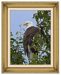 U S Fish And Wildlife Service Bald Eagle On Tree Branch canvas with gallery gold wood frame