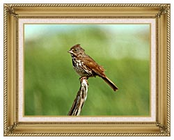 U S Fish And Wildlife Service Fox Sparrow canvas with gallery gold wood frame