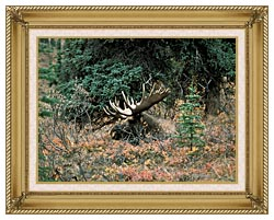 U S Fish And Wildlife Service Bull Moose canvas with gallery gold wood frame