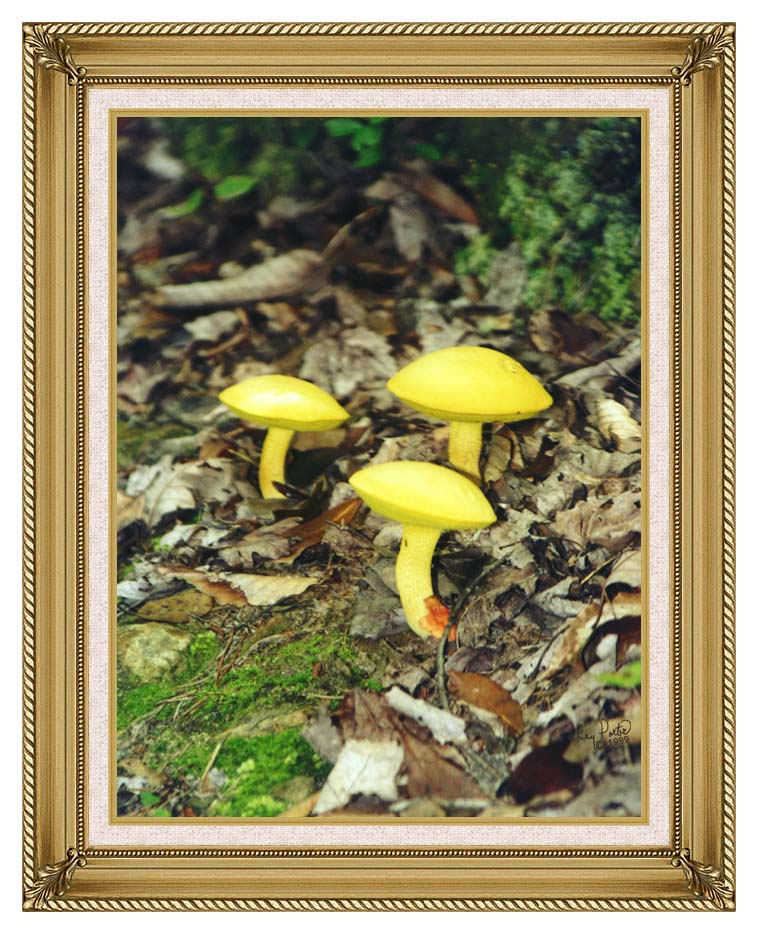 Ray Porter Yellow Bellys with Gallery Gold Frame w/Liner