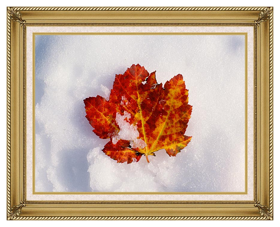 Visions of America Red Maple Leaf in Snow, Acadia National Park, Maine with Gallery Gold Frame w/Liner