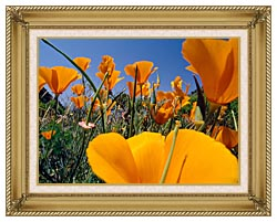 Visions of America Close Up Of California Poppies Blooming In Springtime canvas with gallery gold wood frame